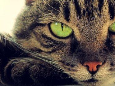 """Біологи з """"Техніона"""": кішки можуть допомогти в розробці противірусних препаратів для людей"""